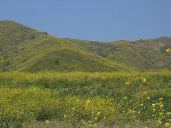 mustardcanadalarga1-1600
